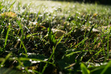 Close Up Of Dewy Grass And Yel...