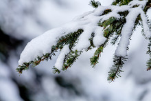 Snow Covered Evergreen Tree Br...