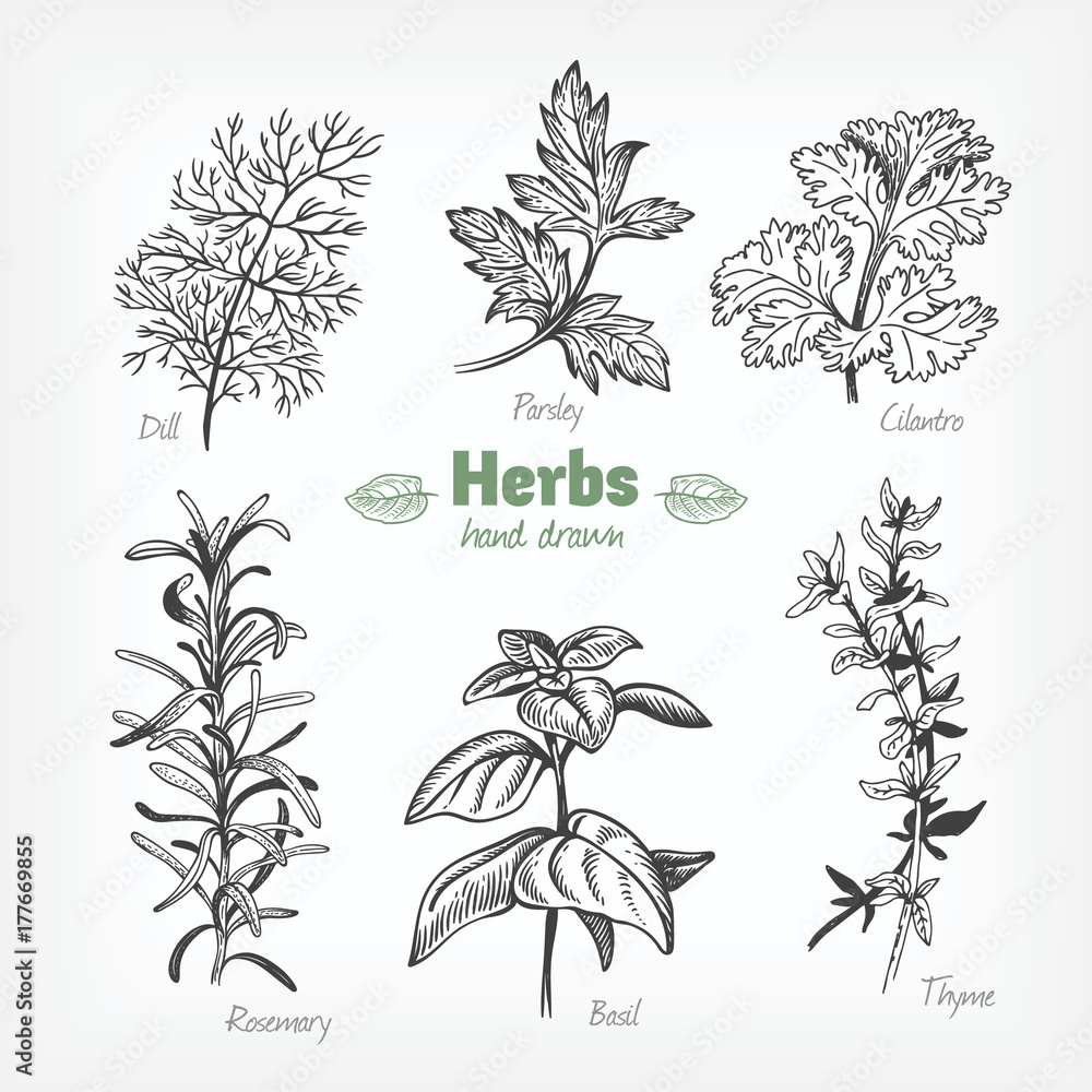 Fototapety, obrazy: Culinary herbs vector hand drawn illustration