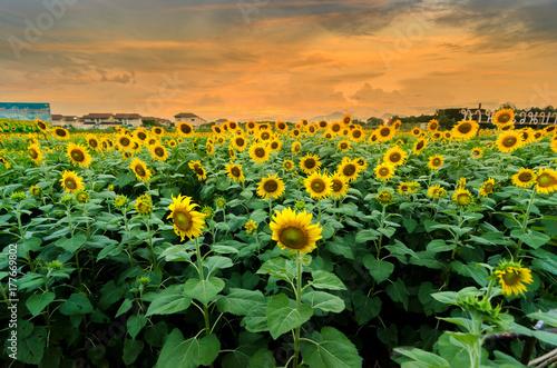 sunflowers-on-a-background-sun