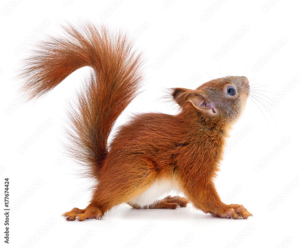 Fototapeta Eurasian red squirrel.
