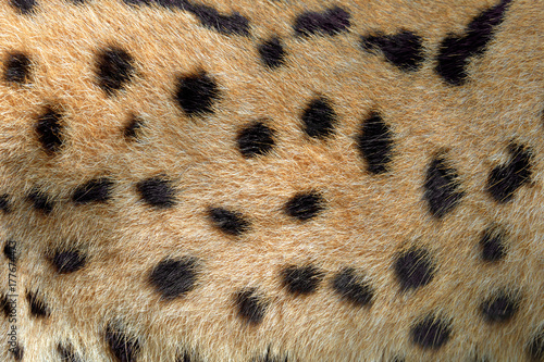 Poster Leopard Real texture of serval cat fur