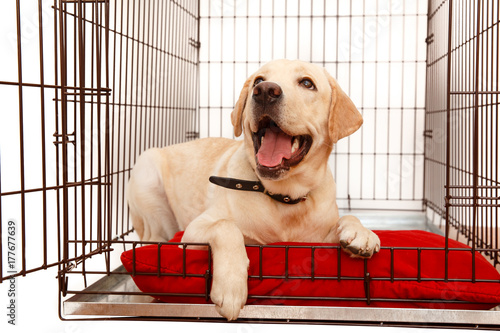 Obraz Dog in cage. Isolated background. Happy labrador lies in an iron box - fototapety do salonu