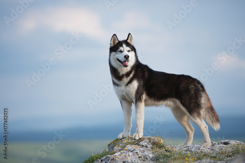 Vászonkép Black and white Siberian husky standing on a mountain in the background of mountains and forests