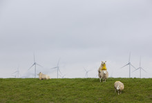 Sheep On Green Grassy Dike And Wind Turbines In The Background  In The North Of Province Groningen Near Eemshaven In The Netherlands