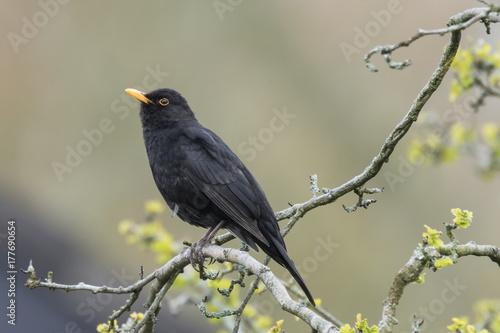 Male Eurasian Blackbird (turdus merula) singing in a tree Wallpaper Mural