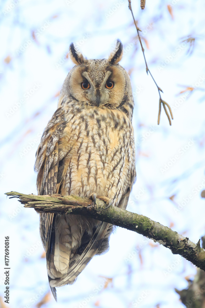 Long eared owl (Asio otus) bird of prey perched in a tree