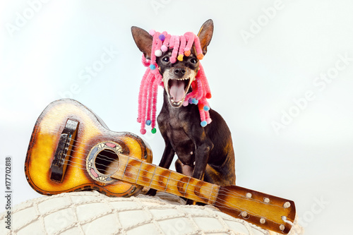 Fotobehang Indiërs Toy Terrier. Dog is a musician. A dog with a guitar. A small dog in a wig. A dog with an open mouth. The dog is singing. A merry dog.