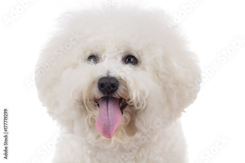 Photo head of an adorable bichon frise with tongue out