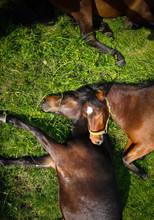 Horses Sleeping On A Meadow.