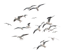 Flying Seagulls (isolated)