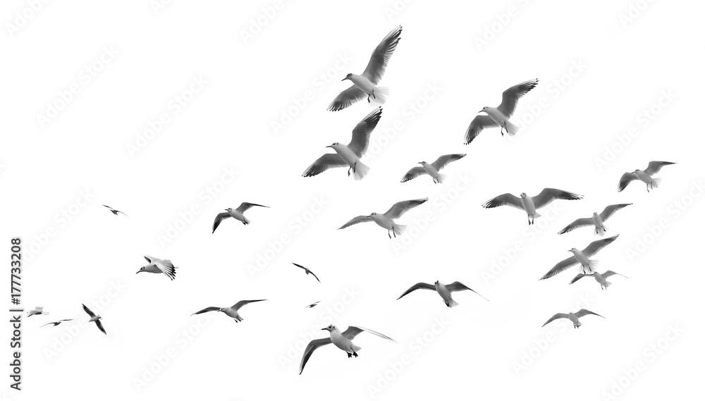 Fototapety, obrazy: Flying seagulls (isolated)