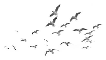 Leteći galebovi (izolirani)