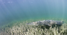 Cuban Crocodile Swimming Along The Sea Grass In The Mangrove Areas Of Gardens Of The Queens Marine Reserve, Cuba.