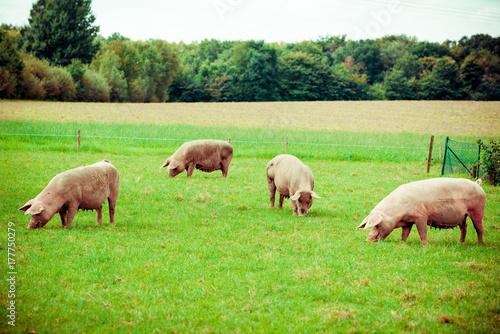 Fotografie, Obraz  Pig farm.  pigs in field. Healthy pig on meadow