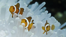 Clown Fish And Anemone, Raja A...