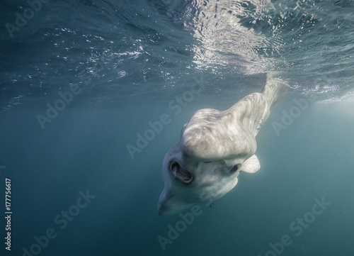 Fototapeta  Oceanic sun fish, or mola mola, swimming on the surface during the sardine run off the east coast of South Africa