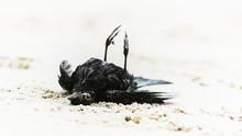 Dead Black Bird Lying On It's ...