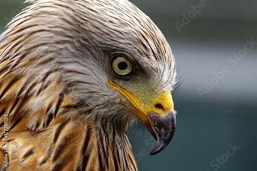 Sharp look of a red kite - Milvus milvus