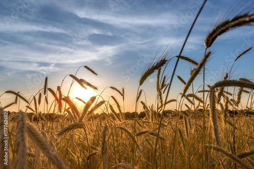 Obraz na plátně Getreidefeld beim Sonnenuntergang