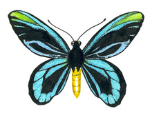 Queen Alexandra' S Birdwing Bu...