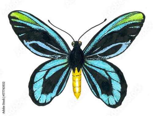 Queen Alexandra' s birdwing butterfly. Wallpaper Mural