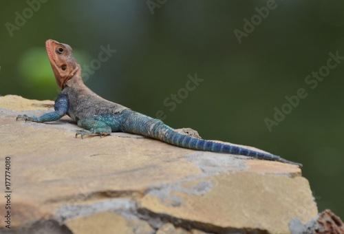 Agama mwanzae ou Agama lionotus, lézard à la tête rouge et au corps bleu marine, Poster
