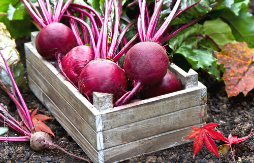 Beetroot in a wooden crate. Freshly harvested beetroot. © Clickmanis