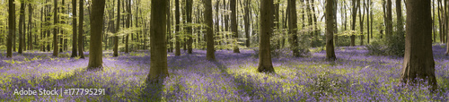 The bluebell woods near Micheldever in Hampshire. Wallpaper Mural