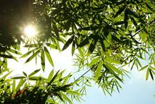 Ray Of Sun Shine Through Green Bamboo Leaves On Blue Sky Look Fresh Feeling Warm And Beautiful