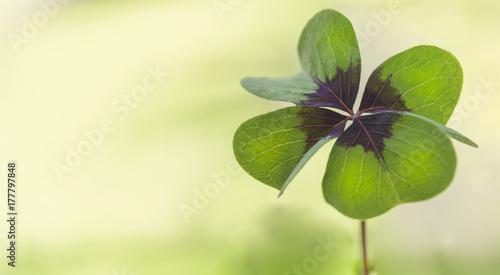 Valokuva  Vierblättriges Kleeblatt, Glücksbringer