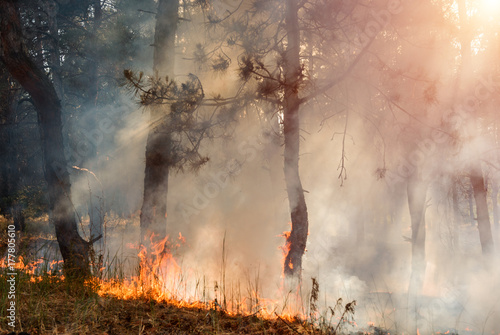 Photo Stands Roe Forest fire. Burned trees after wildfire, pollution and a lot of smoke