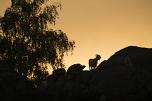 Silhouette Of Sheep On Hill Under Sundet In Shinjang China