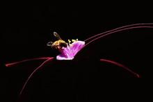 Bee On Tradescantia Pallida Plant