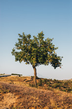 Single Pear Tree On The Hill