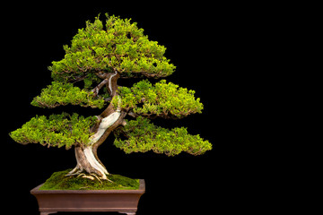 Traditional japanese bonsai miniature tree in a ceramic pot isolated on a bla...