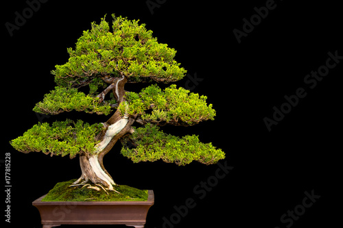 Poster Bonsai Traditional japanese bonsai miniature tree in a ceramic pot isolated on a black background.