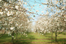 A Beautiful Apple Orchard On A Sunny Spring Day