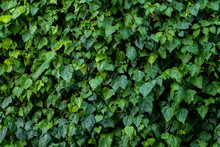 Green Plant Wall, Background A...