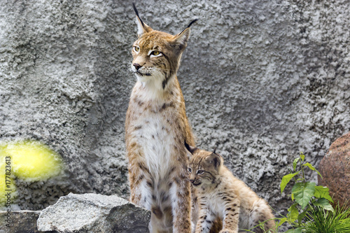 In de dag Lynx a female of the northern lynx with a brood, in the ruins of a meteorological station in Siberia