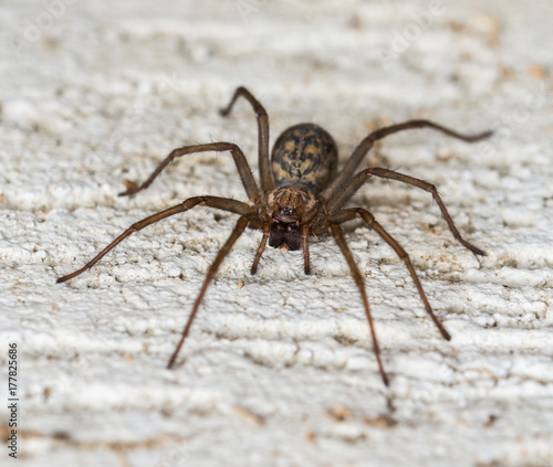 Spider on the wall  lat.Tegenaria domestica.