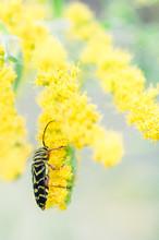 Yellow And Black Beetle Feedin...