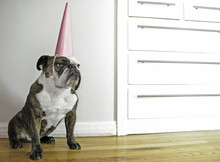 English Bulldog With Party Hat