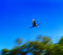 Horizontal Flying Stork In Mot...
