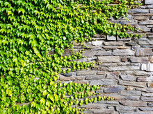 Green Ivy On A Wall With Stone...