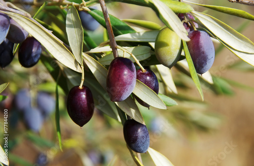 Tuinposter Olijfboom ripe olives on the branch of olive tree