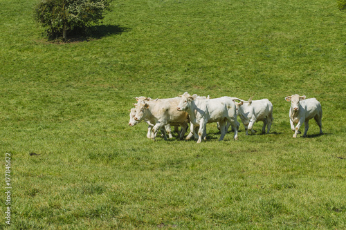 Foto op Canvas Pistache Cows grazing on grassy green field on a bright sunny day. Normandy, France. Cattle breeding and industrial agriculture concept. Summer countriside landscape and pastureland for domesticated livestock