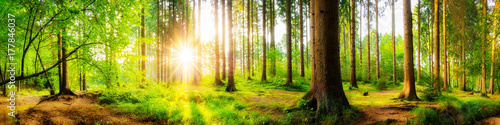 Garden Poster Forest Beautiful forest panorama with big trees and bright sun