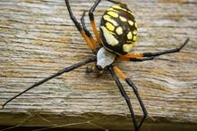 Garden Spider On Wood