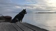 Big dog waits for the host along an old wooden pier.